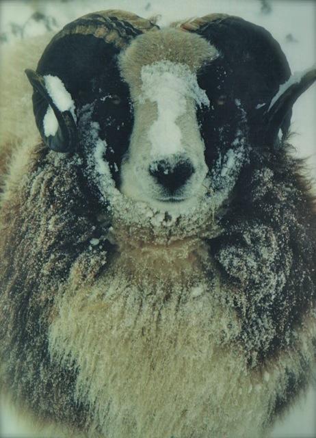 Border Rambler - Shearling Ram